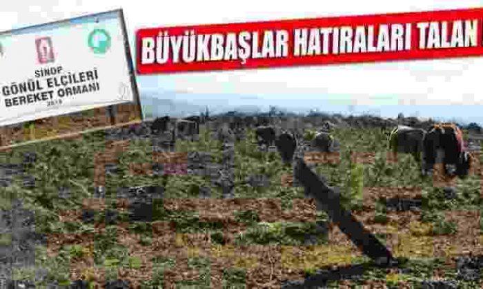 Hatıra Ormanı Büyükbaş Hayvanlar Tarafından Talan Edildi
