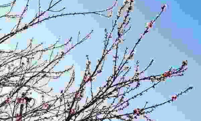 Konya'da Kayısı Ağaçları Çiçek Açtı! Çiftçiler Tedirgin