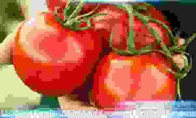 Temmuz ayında domates fiyat rekoru kırdı!
