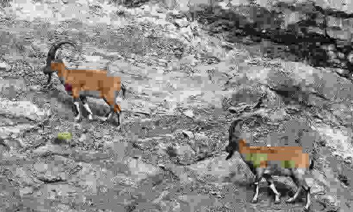 Dağ Keçisi Avcılarını Ekipler Yakaladı