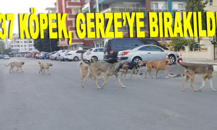 37 köpek, Gerze'ye bırakıldı