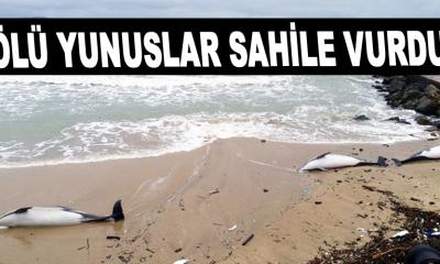 Ölü yunuslar sahile vurdu