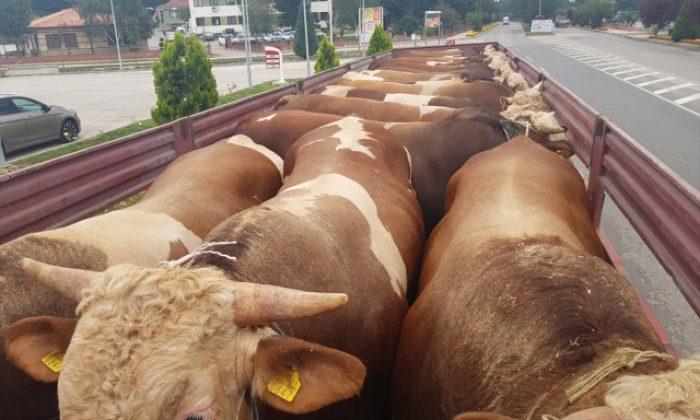 Boyabat'ta Kurbanlık Hayvan Sevkiyatı