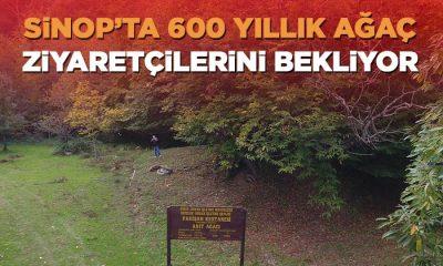 600 Yıllık Anıt Ağaç Ziyaretçilerini Bekliyor