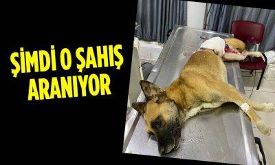 Silahla Vurulan Sokak Köpeği Tedavi Edildi